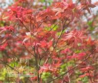 日本红枫地苗;米径5(cm)