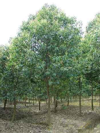 常綠喬木、桉樹、八角楓、白檀、八角茴香、白皮松價格表
