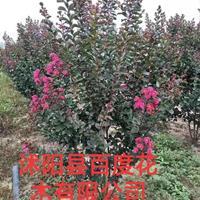 江蘇紫薇 江蘇天鵝絨紫價格 紫薇供應 火紅箭紫薇批發廠家直銷