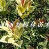 湖南彩葉桂花基地-珍珠彩葉桂-變色彩葉桂-彩葉桂花價格