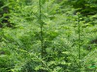 出售南方红豆杉苗   精品苗