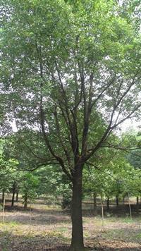 长期供应香樟,广玉兰,红叶石楠,榉树,朴树,乌桕,黄山栾