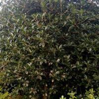 安徽桂花G1-2-3-4-5—6米价格