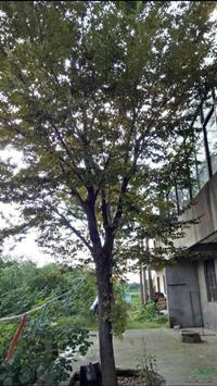 胸径25公分榉树21行情报价/胸径25公分榉树21图片展示