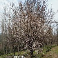 安徽红叶李3批发/供应