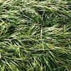 萧山麦冬草