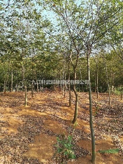 江西九江大量供應樸樹規格齊全歡迎來電