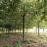 香樟树批发 长沙香樟树价格怎么样 今年高杆香樟树批发处理