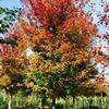 江苏美国红枫价格 美国红枫基地 美国红枫供应