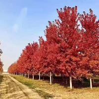 2020年山东8-20公分美国红枫新报价 秋火焰红枫 济宁美国红枫价格