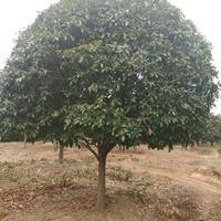 大量供應5米高度 4.5米冠桂花樹