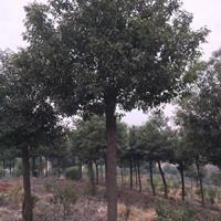 优质香樟,香樟树,香樟直销,香樟价格,香樟桩,10公分香樟