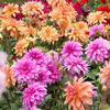 大丽花、大理花、天竺牡丹、东洋菊、大丽菊、细粉莲、地瓜花