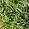 供應闊葉麥冬草 闊葉麥冬草圖片 闊葉麥冬草價格