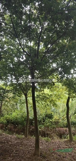 江西九江供應各種規格樸樹