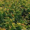 紅葉石楠苗·紅葉石楠圖片·紅葉石楠種植基地
