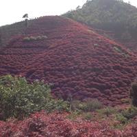 大小规格红枫基地,买红枫到宁波,宁波红枫你值得拥有