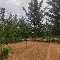 银杏树江苏地区哪里买?银杏树多少钱一棵哪里便宜?