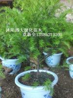 南方红豆杉