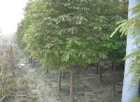 北美红杉、巴东木莲、翠柏、川含笑、赤楠、沉香、芭蕉价格表