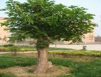 青桐、楸树、桤木、青檀、皂荚、水松、日本红枫价格表