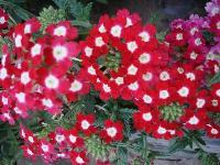 大量供应萼距花、飞蓬、飞燕草、红蓖麻等宿根花种