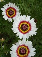 大量供应大蓟、萼距花、飞蓬、飞燕草等宿根花种