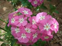 大量供应大花秋葵、大蓟、萼距花、飞蓬等宿根花种