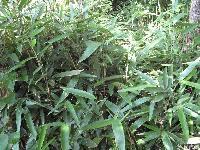 绿化灌木箬竹,箬竹苗,别称:篃竹,江苏箬竹,箬竹价