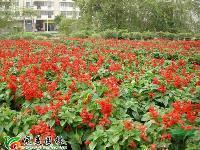 国庆菊  彩叶草  孔雀草 一串红 草花 盆花