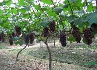 葡萄树,葡萄树苗,葡萄树直销,葡萄树苗价格