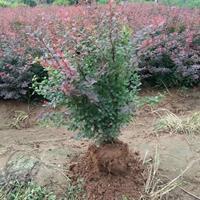 雀舌黄杨、紫叶小檗、金丝桃、银柳、大花月季、黄毛月季、曼海姆