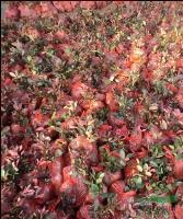 红叶石楠10公分,红叶石楠球,红叶石楠小苗