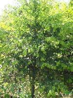 湖南红豆杉、深山含笑、榆树