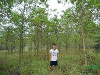 南京喜树10公分价格 喜树12公分价格 喜树15公分价格