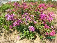 绿化苗木价格:凹叶景天,矮海棠,矮紫薇,白蜡,桉树,矮化竹