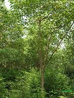 供应重阳木、榔榆、杜梨、红梅、鹅掌楸、桑树、杜英