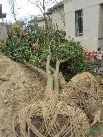 乌桕、黄连木、榔榆、三角枫,桂花,垂丝海棠、西府海棠