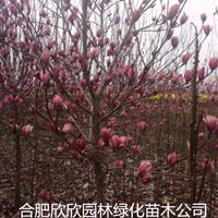 安徽红花玉兰、紫玉兰、白玉兰、广玉兰、深山含笑