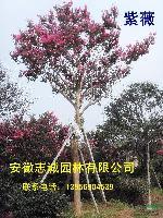 安徽合肥:紫薇、樱花、红、广玉兰、无患子