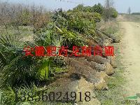 棕榈、红花继木、红叶小檗、喜树、国槐、小叶女贞球、瓜子黄杨球