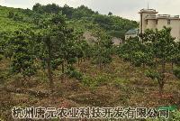 浙江造型罗汉松基地*新报价/造型罗汉松基地图片