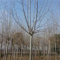 银杏(白果又称银杏)构树、刺槐,马褂木、杜英、喜树,无患子
