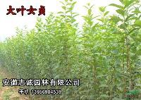 大叶女贞,桂花,栾树,三角枫,椤木,丝棉木,乌桕,广玉兰喜树