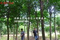 安徽马褂木、肥西鹅掌楸基地、马褂木*新价格。肥西苗木基地