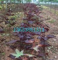 郑州红国王挪威槭规格 天津 红国王挪威槭种植技术