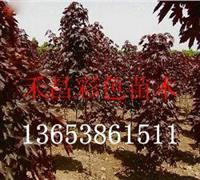 信阳红国王挪威槭直销价格 黑龙江红国王挪威槭习性