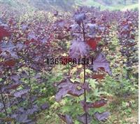 新乡红国王挪威槭报价 景观红国王挪威槭育苗技术