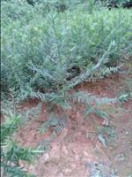 红豆杉苗,红豆杉种子,红豆杉树,南方红豆杉价格,3公分红豆杉
