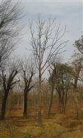 河南地区供应6-50公分七叶树